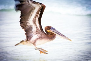 Pelican Water Bird Wide Wallpaper