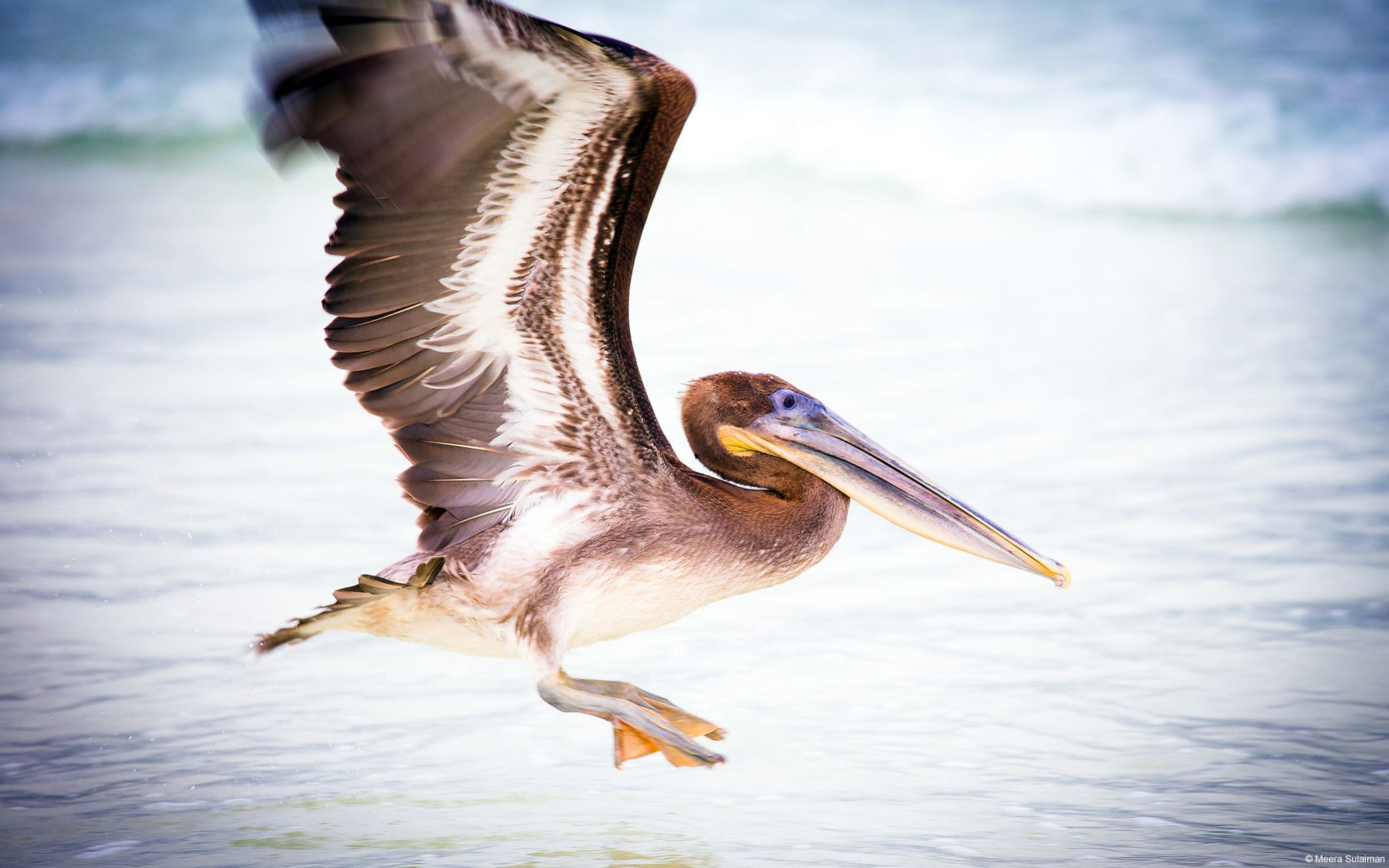 Download free HD Pelican Water Bird Wide Wallpaper, image