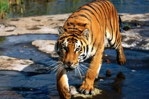 Download Prowler Bengal Tiger Normal Wallpaper Free Wallpaper on dailyhdwallpaper.com