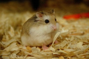 Download Robo Hamster Wallpaper Free Wallpaper on dailyhdwallpaper.com