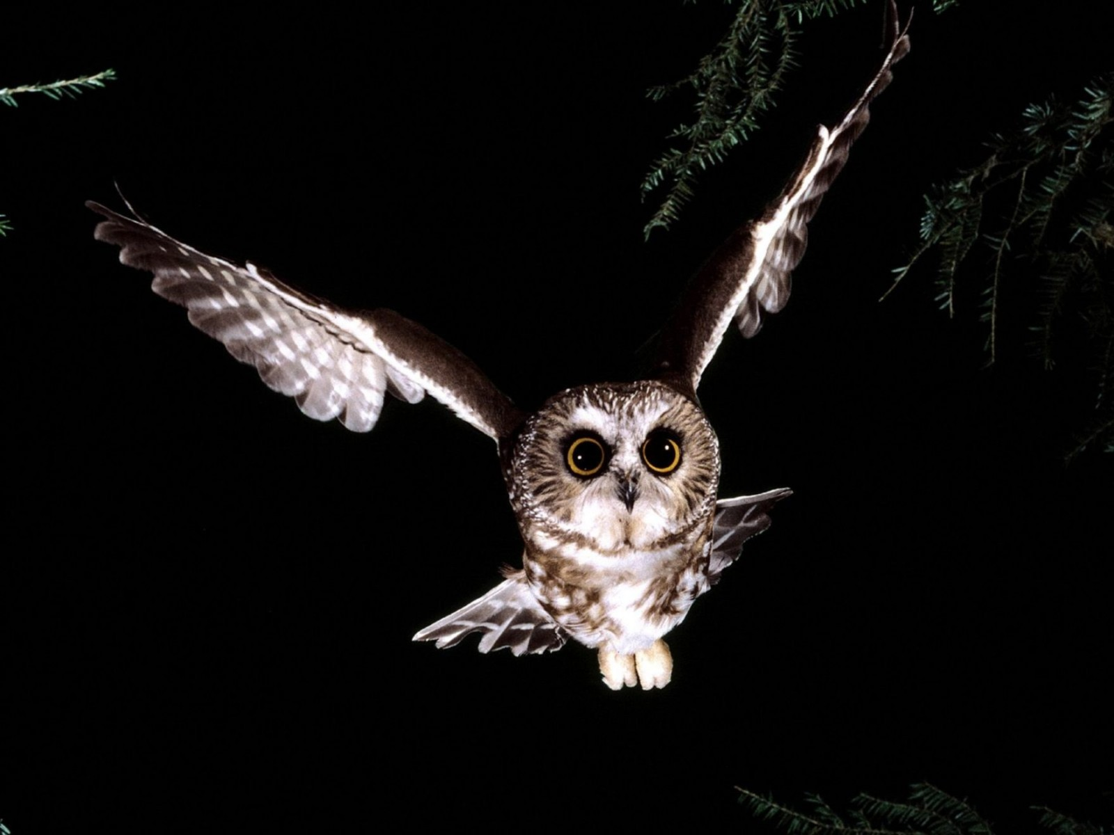 Saw Whet Owl Normal Wallpaper