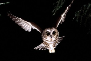 Download Saw Whet Owl Normal Wallpaper Free Wallpaper on dailyhdwallpaper.com