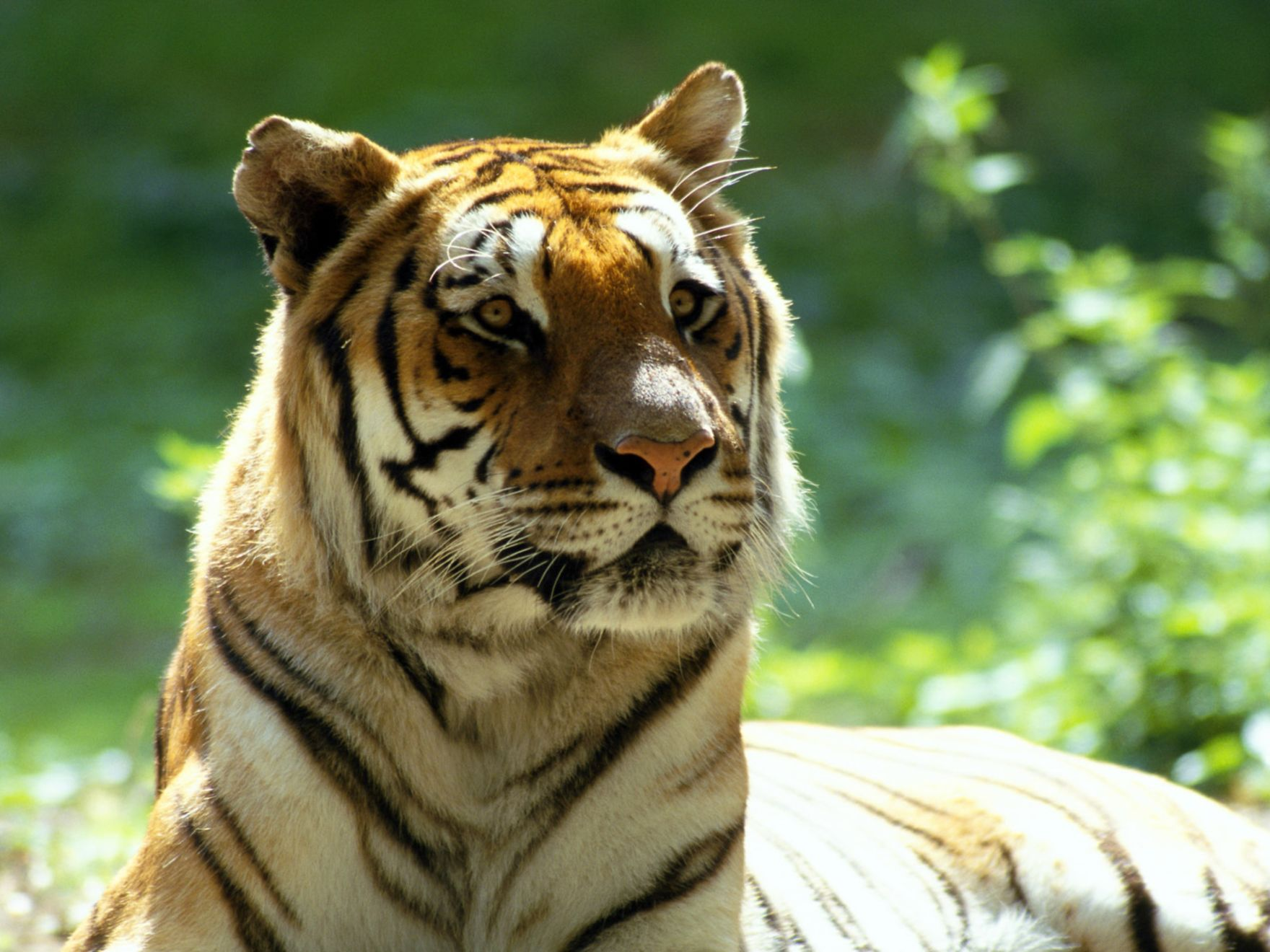 Download free HD Scary Tiger Normal Wallpaper, image