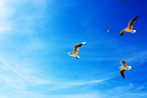 Seagulls in Flight Wide Wallpaper