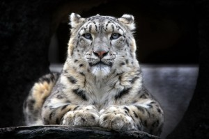 Snow Leopard 2 Wide Wallpaper