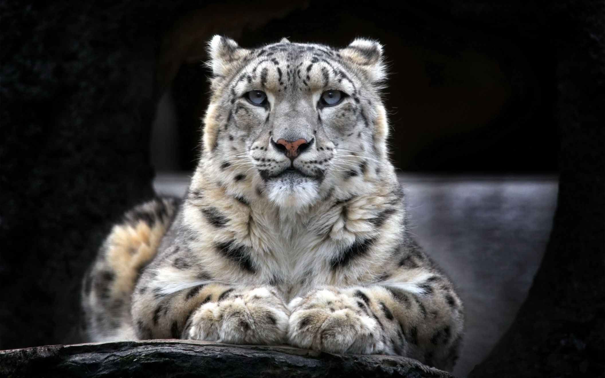 Download free HD Snow Leopard 2 Wide Wallpaper, image