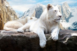 Download Snow Lion Wide Wallpaper Free Wallpaper on dailyhdwallpaper.com