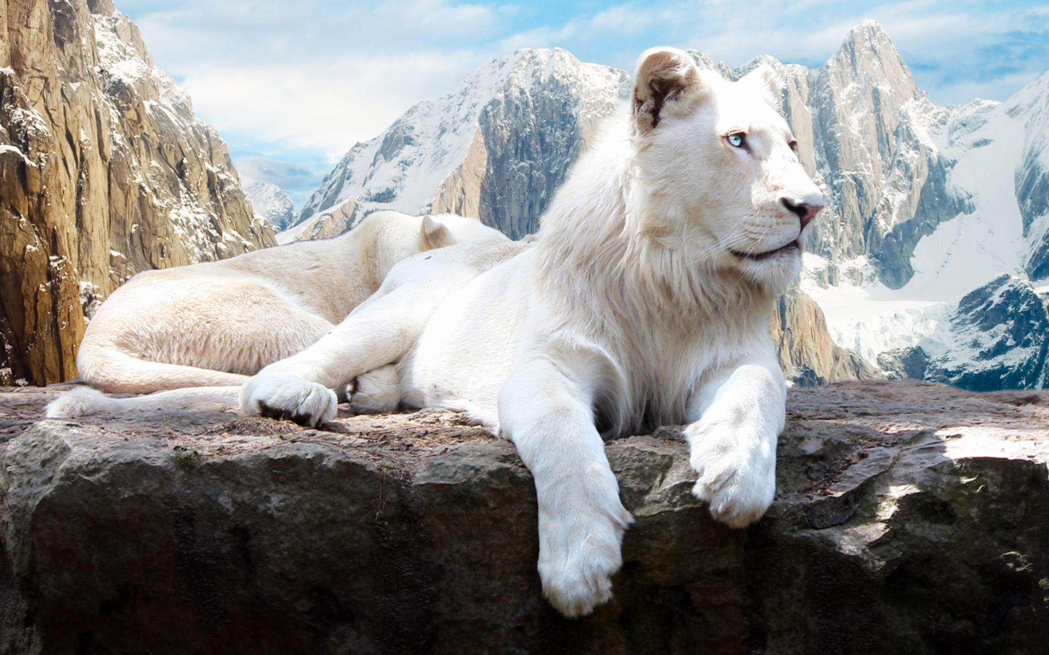Download free HD Snow Lion Wide Wallpaper, image