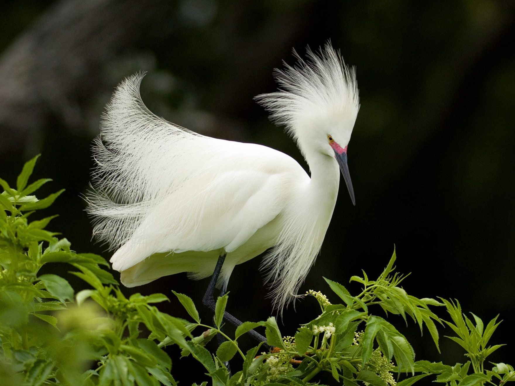 Download free HD Snowy Egret in Breeding Plumage Normal Wallpaper, image