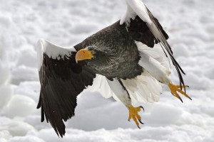 Download Stellers Sea Eagle Normal Wallpaper Free Wallpaper on dailyhdwallpaper.com