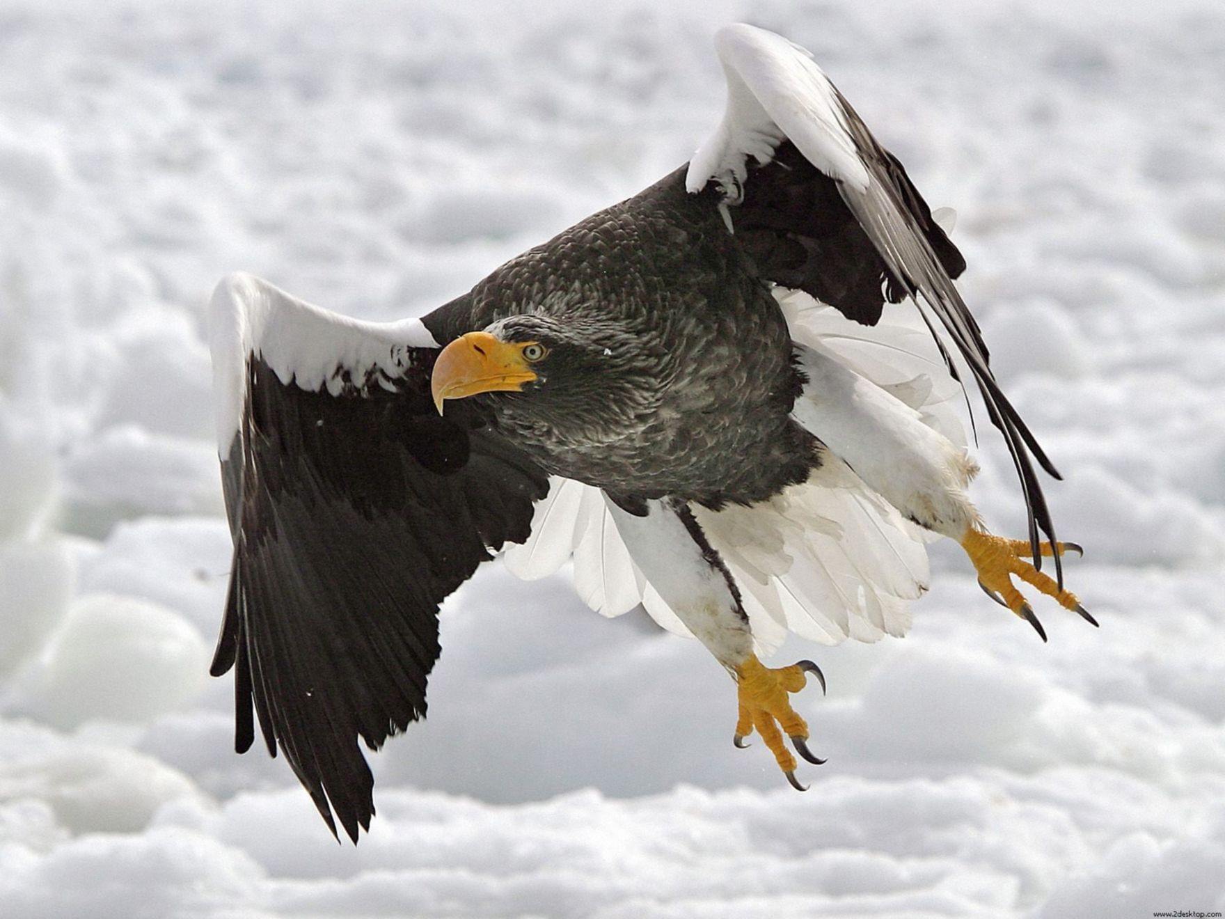 Download free HD Stellers Sea Eagle Normal Wallpaper, image