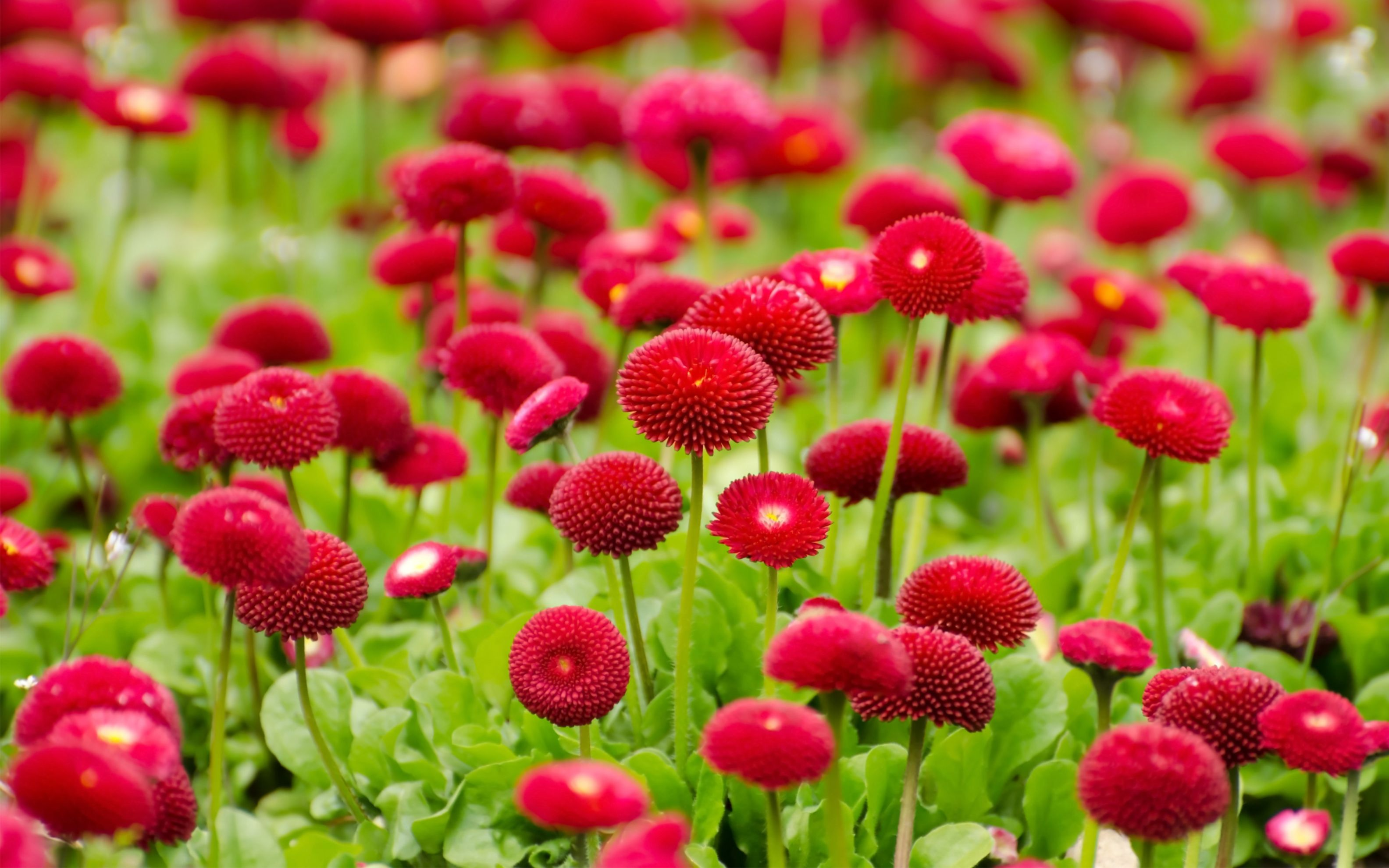 Download free HD Summer Red Flowers Wide Wallpaper, image