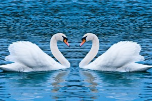 Swan Love Wide Wallpaper