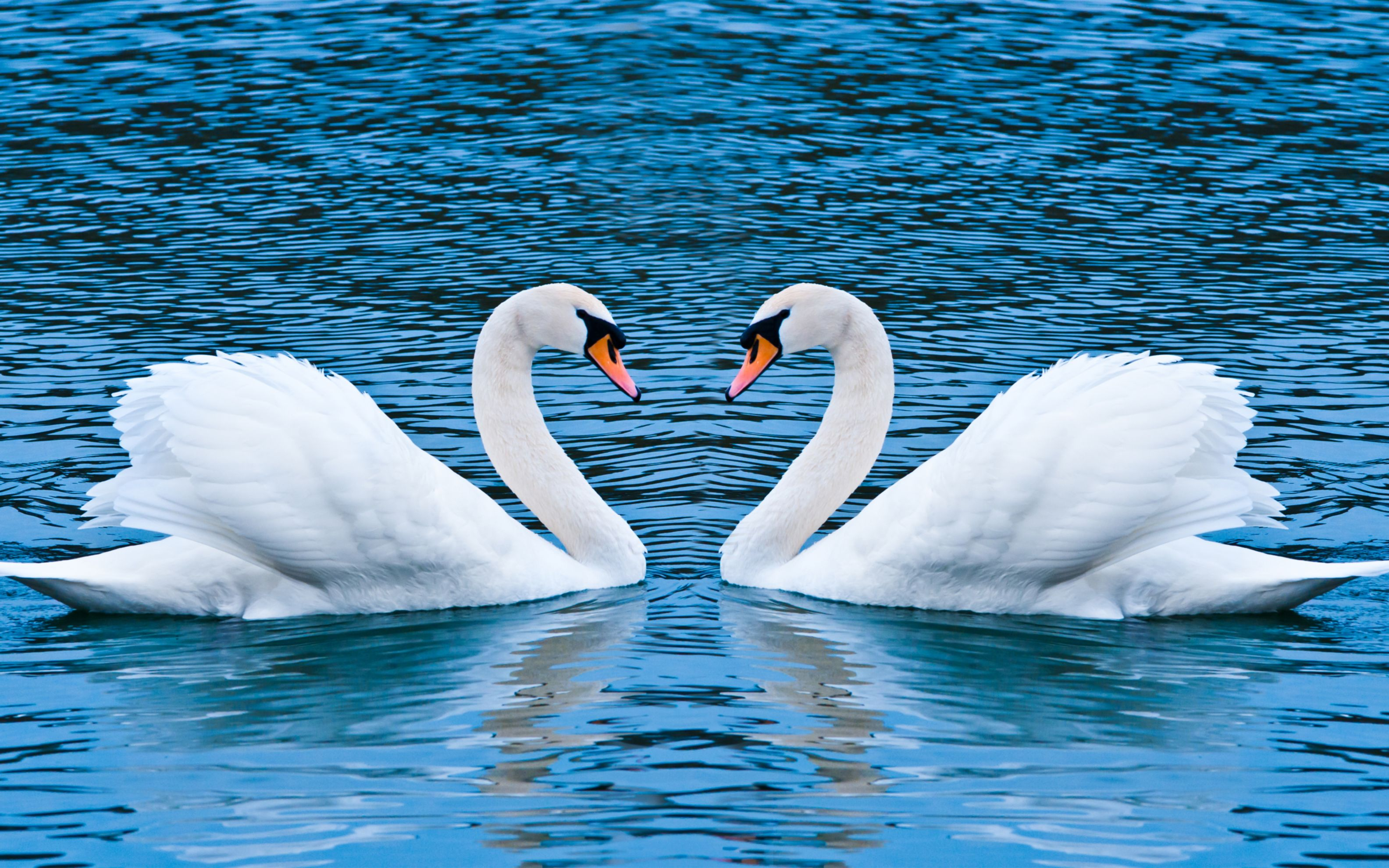 Download free HD Swan Love Wide Wallpaper, image