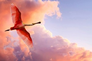 The Roseate Spoonbill Wide Wallpaper
