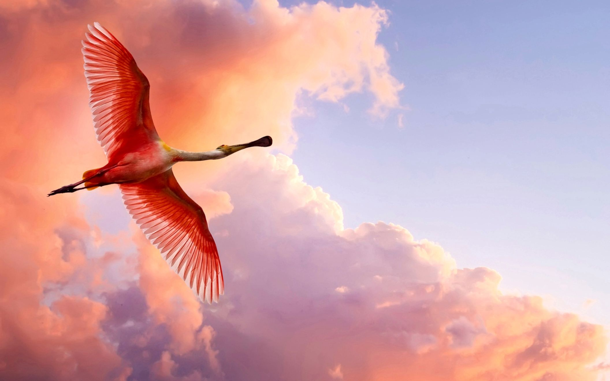 Download free HD The Roseate Spoonbill Wide Wallpaper, image