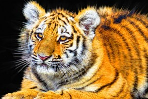 Tiger Cub Wide Wallpaper
