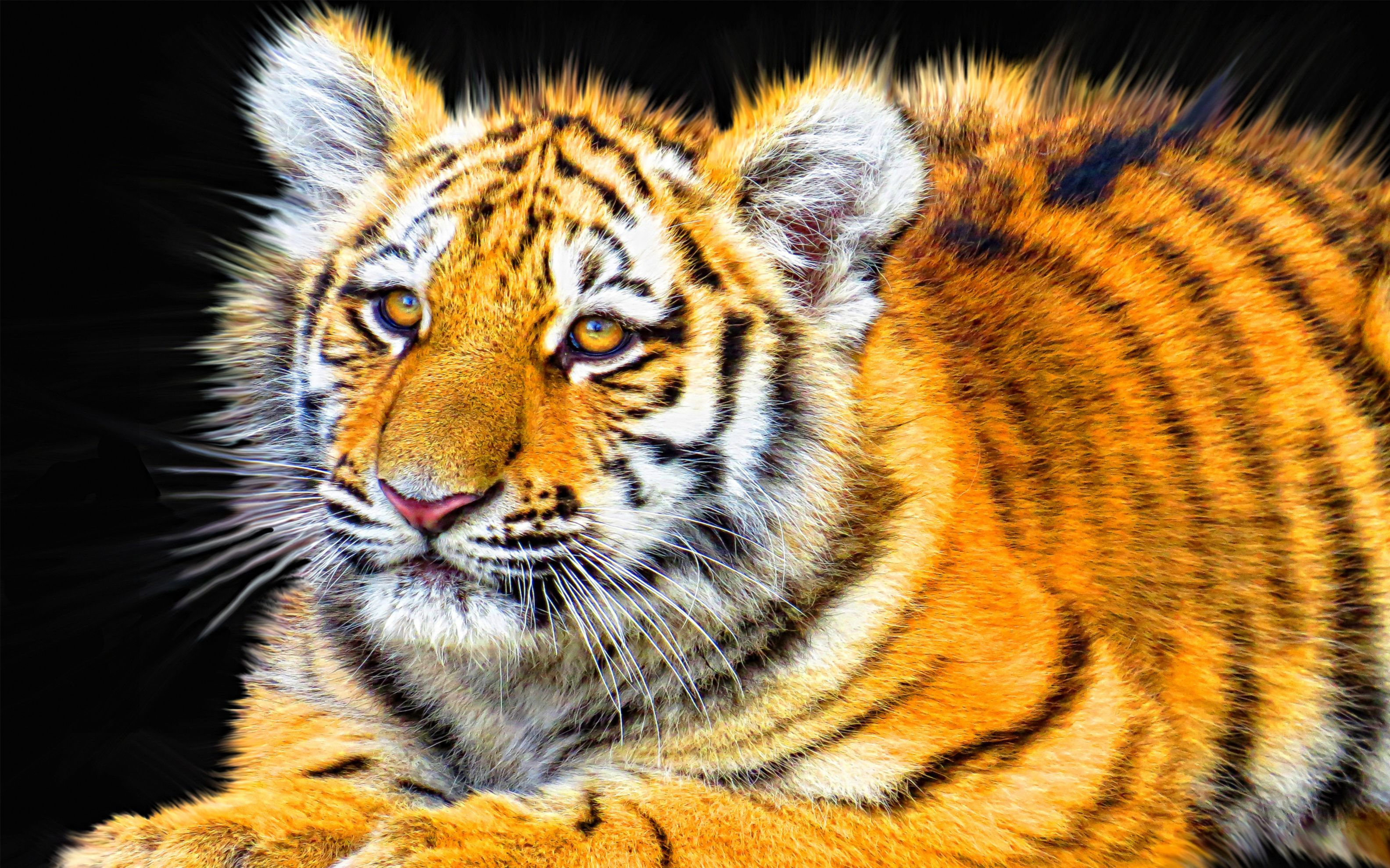 Download free HD Tiger Cub Wide Wallpaper, image