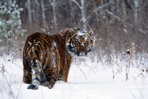 Tiger In Snow Normal Wallpaper