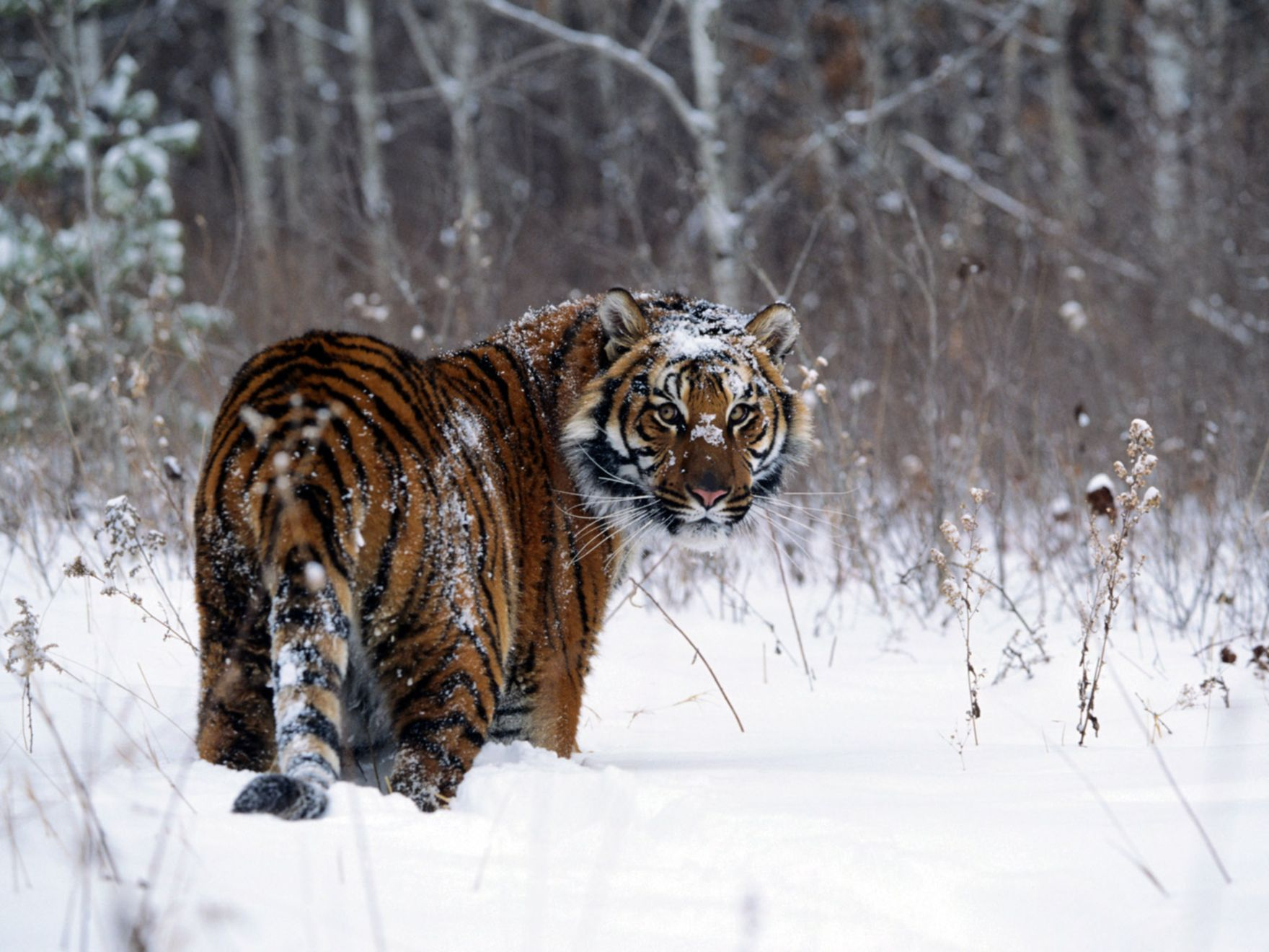 Download free HD Tiger In Snow Normal Wallpaper, image