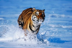 Tiger In Water Normal Wallpaper