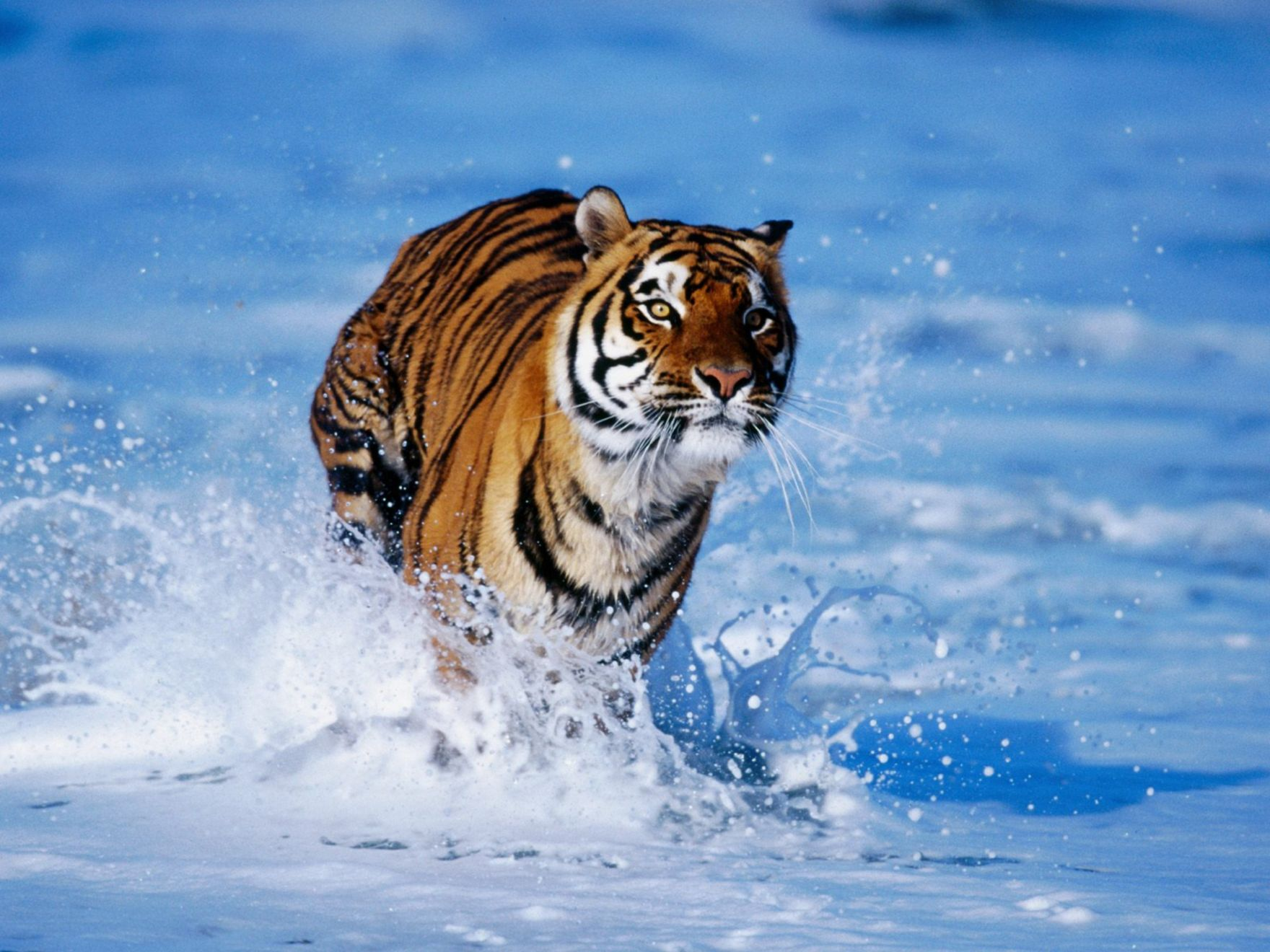 Download free HD Tiger In Water Normal Wallpaper, image
