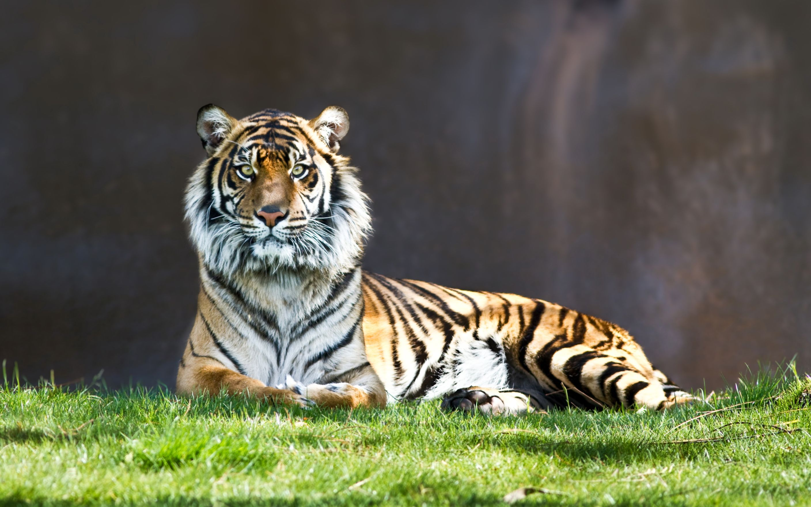 Download free HD Tiger Staring Wide Wallpaper, image