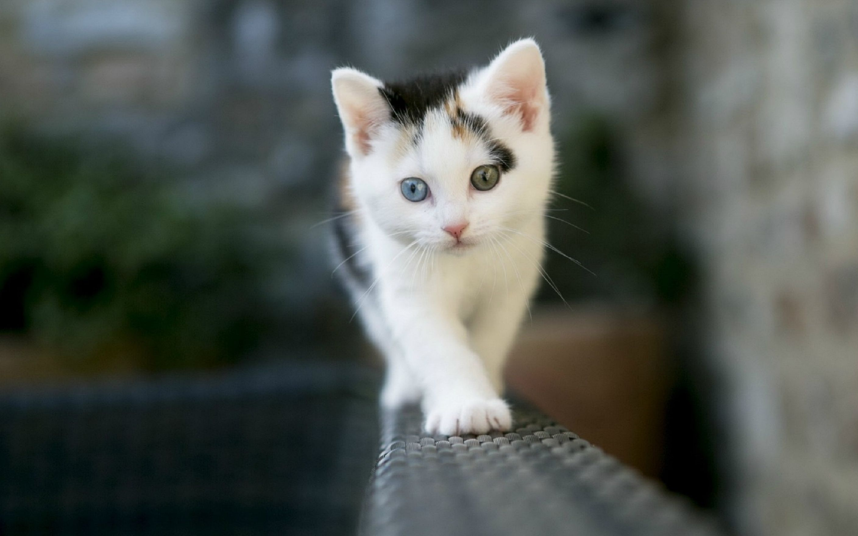 Download free HD Walking Cat Animal Wallpaper, image