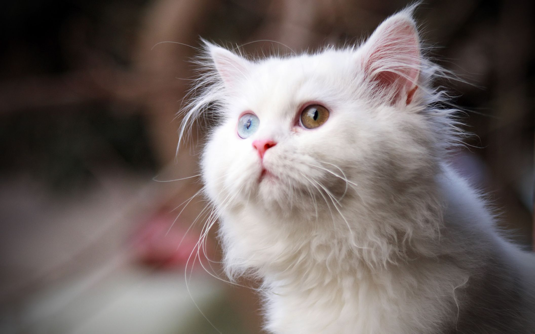 Download free HD White Cat Wide Wallpaper, image