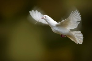 White Dove Bird Flying Photo Wallpaper