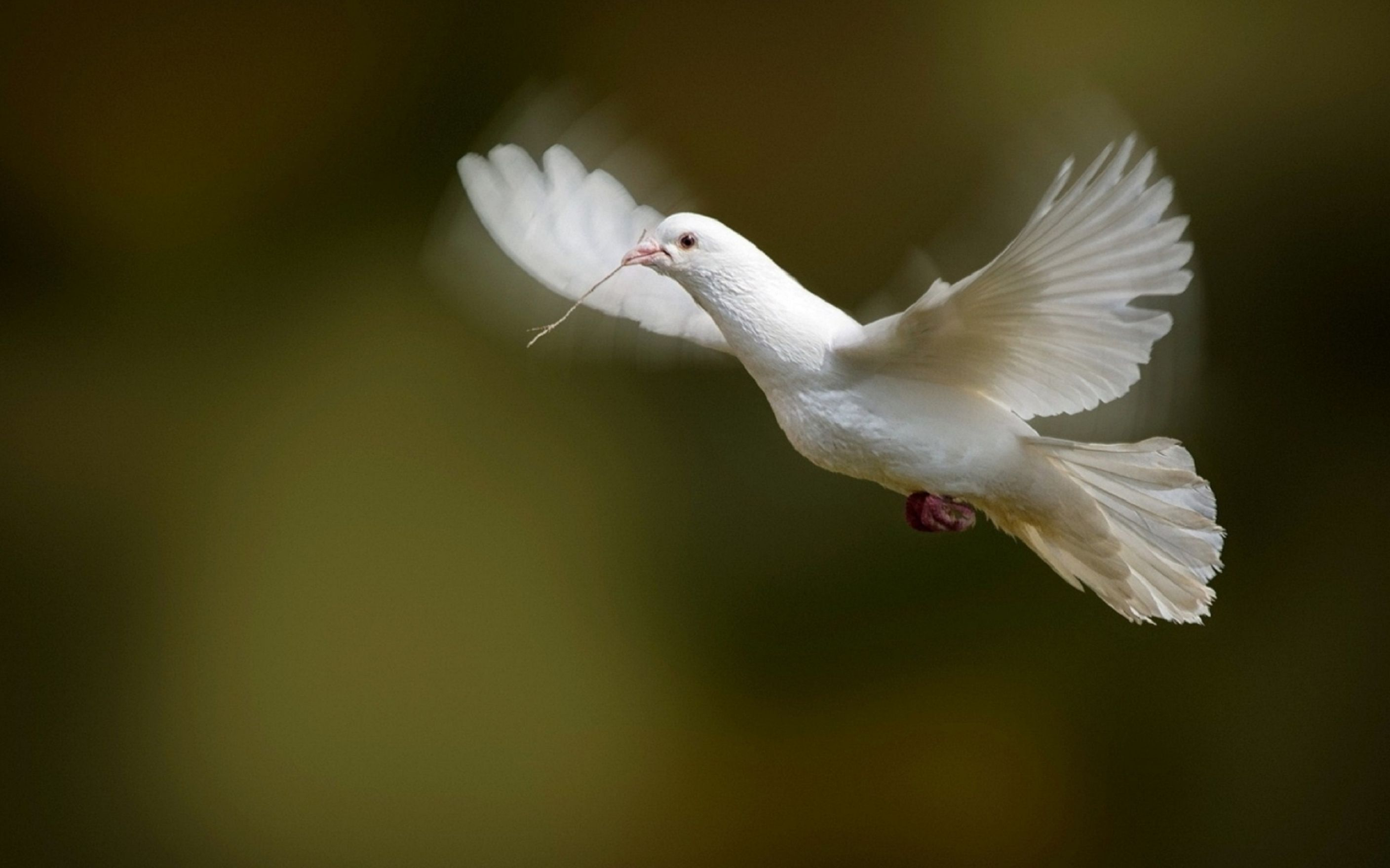 Download free HD White Dove Bird Flying Photo Wallpaper, image