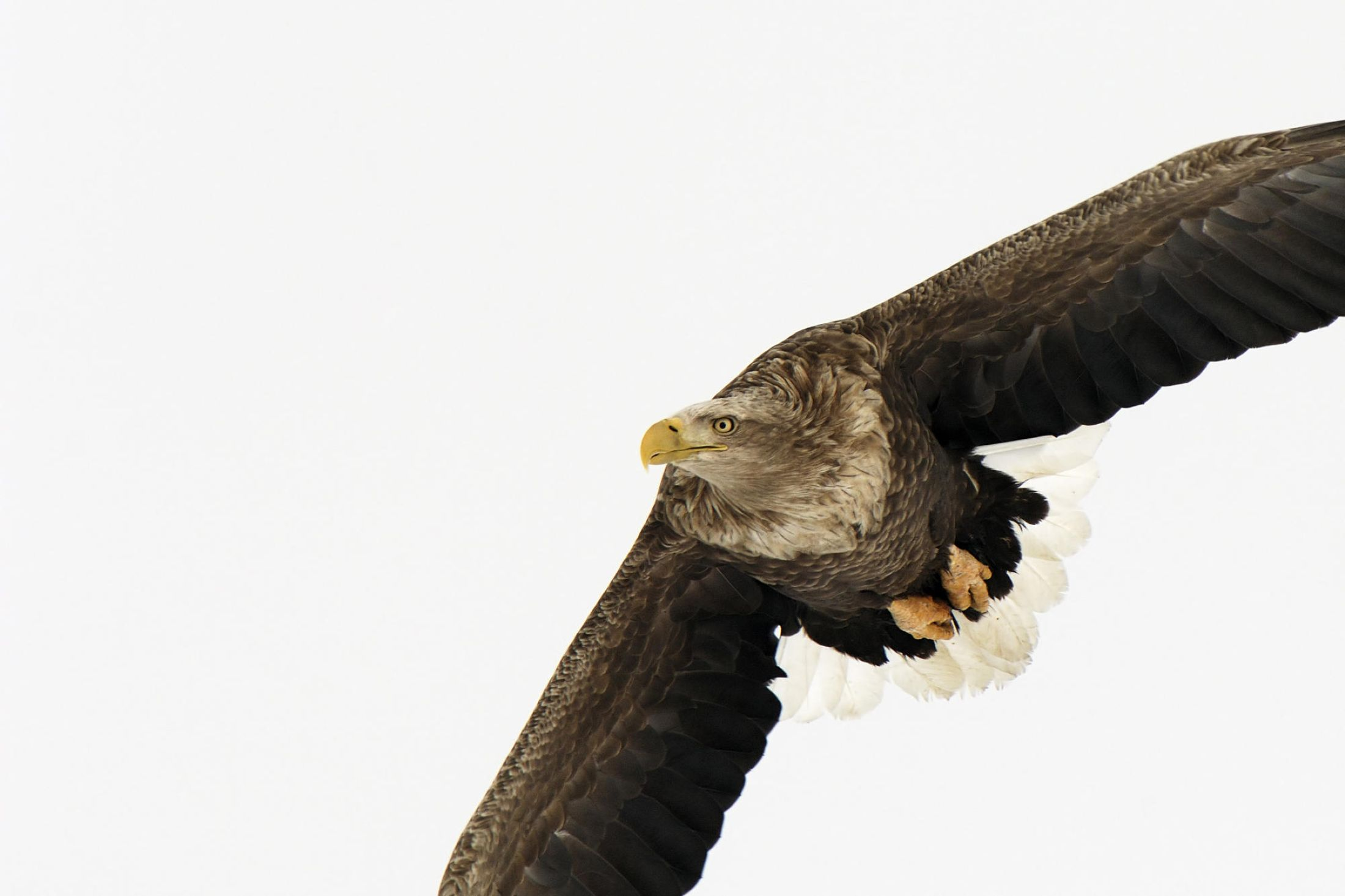 Download free HD White Tailed Eagle Japan Other Wallpaper, image
