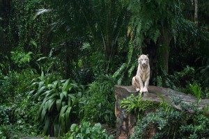 Download White Tiger In The Jungle Wallpaper Free Wallpaper on dailyhdwallpaper.com