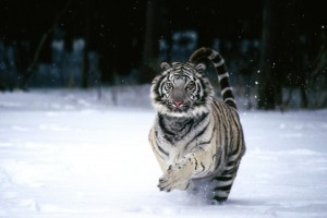White Tiger Normal Wallpaper