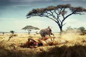 Wild Lion Zebra Chase Wide Wallpaper