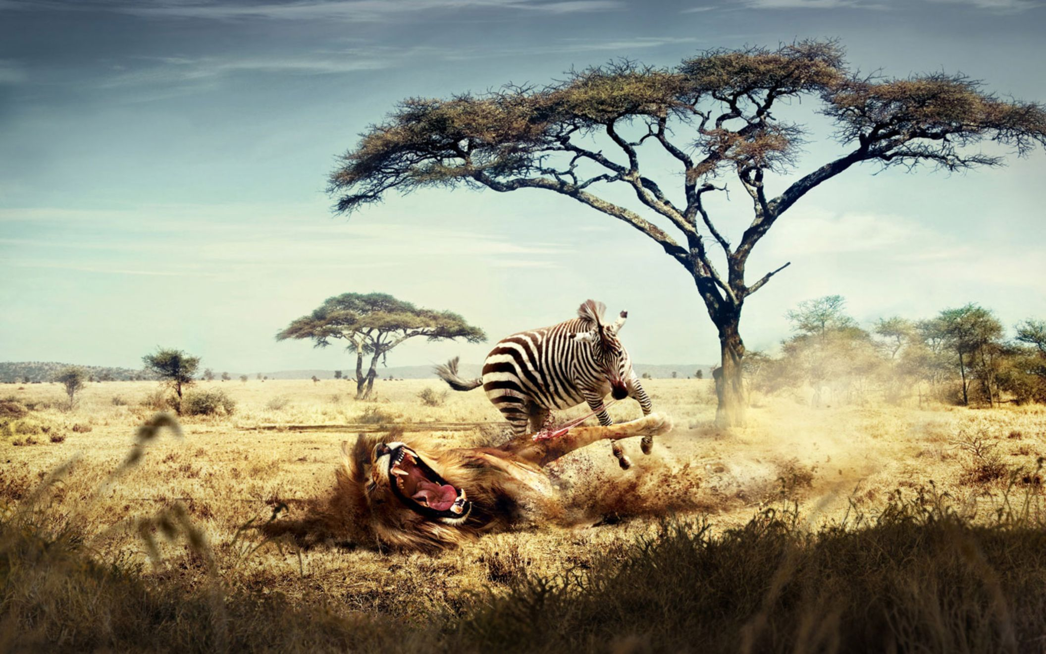 Download free HD Wild Lion Zebra Chase Wide Wallpaper, image
