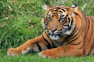 Wild Sumatran Tiger Wide Wallpaper