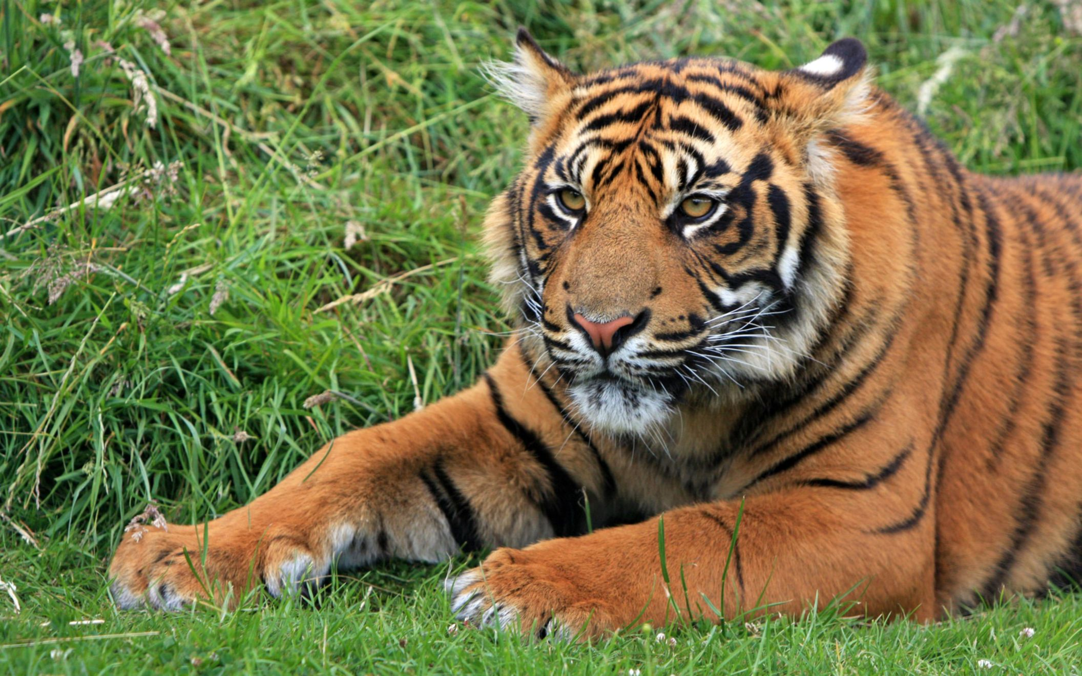 Download free HD Wild Sumatran Tiger Wide Wallpaper, image