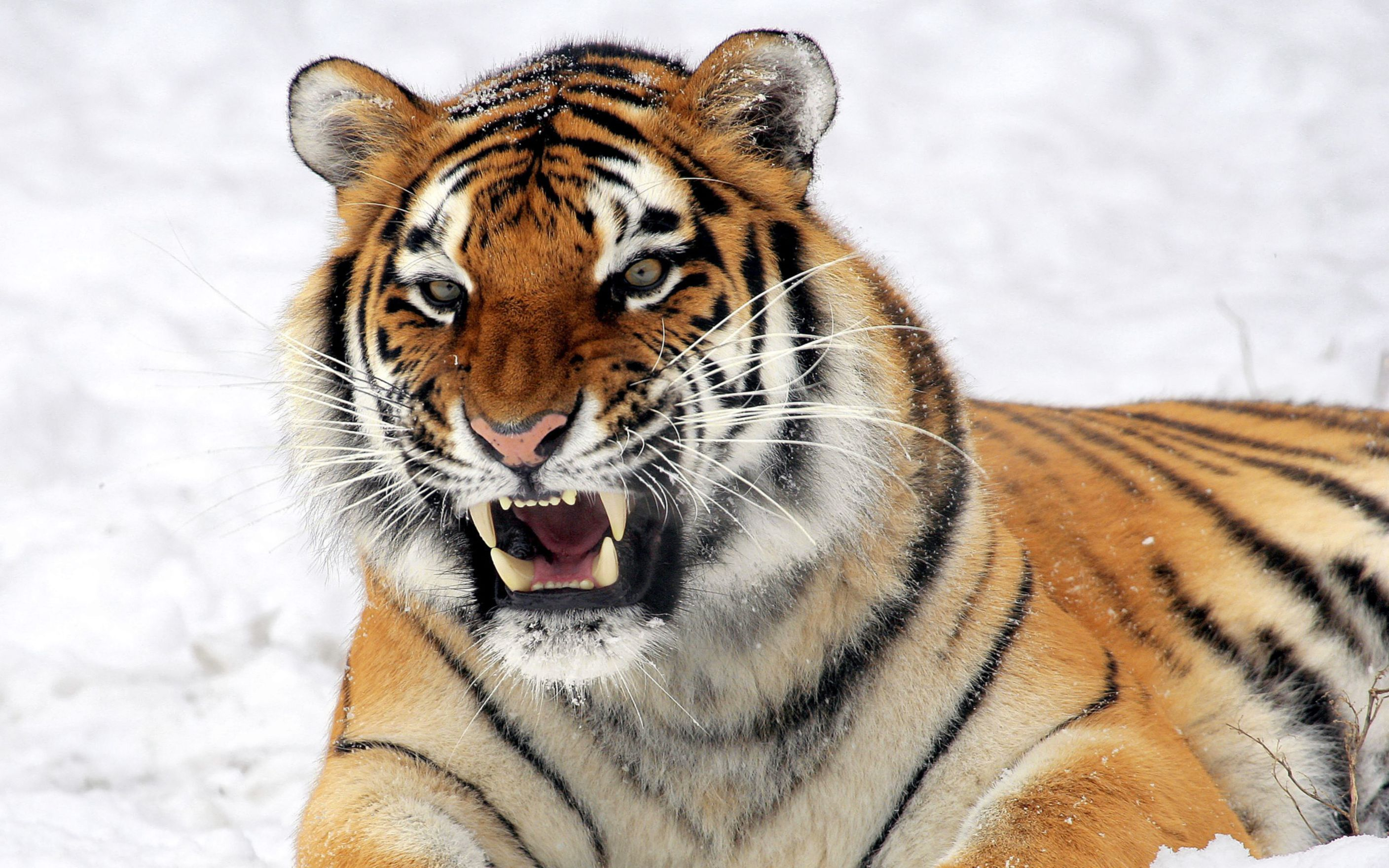 Download free HD Wild Tiger Predator Wide Wallpaper, image