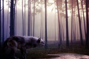 Wild Wolf HD Wallpaper