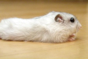 Winter White Hamster Wide Wallpaper