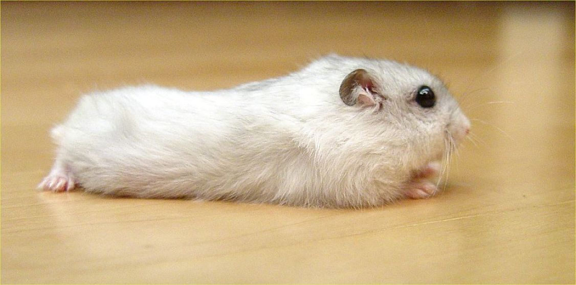 Download free HD Winter White Hamster Wide Wallpaper, image
