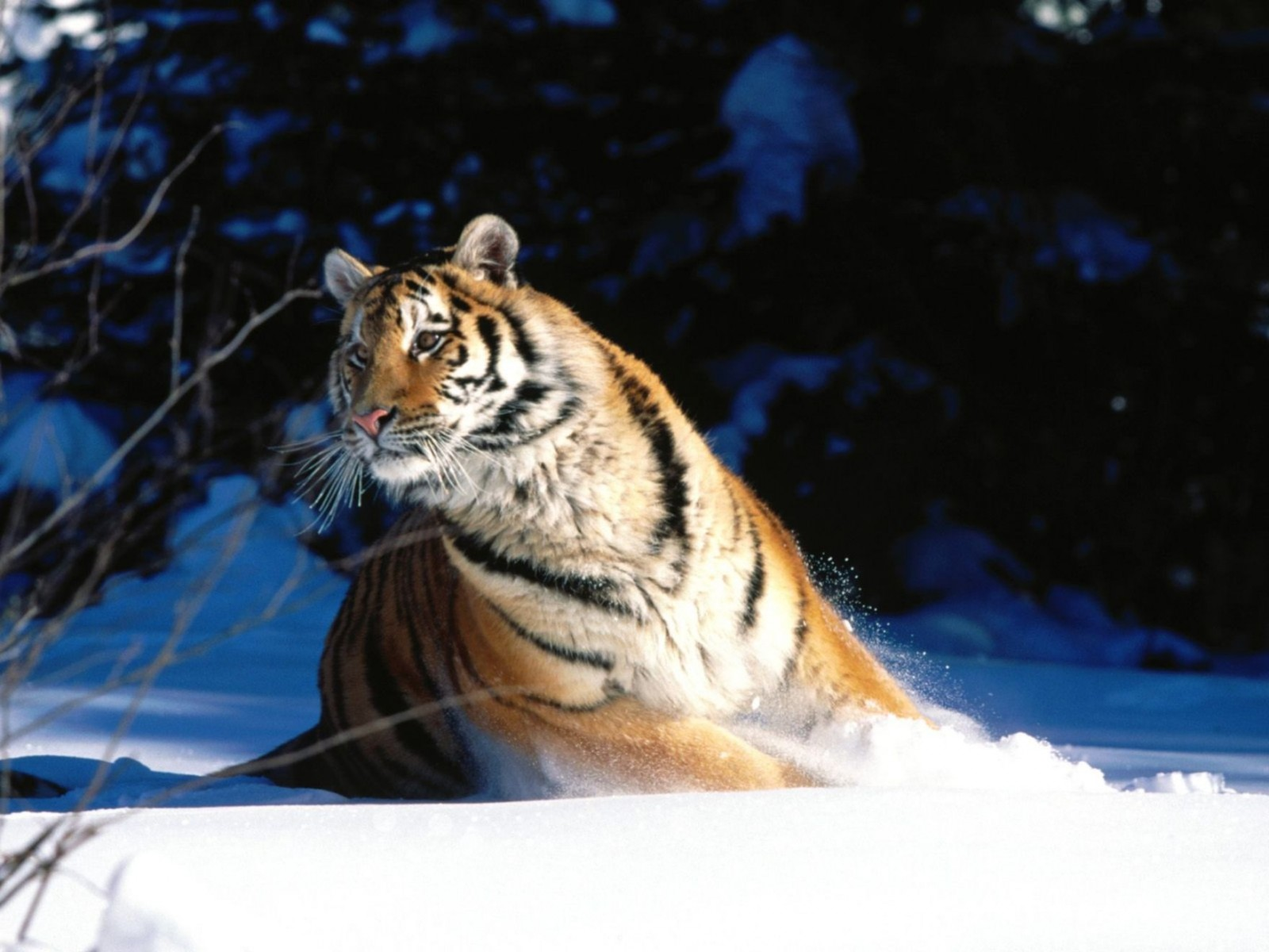 Wintery Scuddle Siberian Tiger Normal Wallpaper