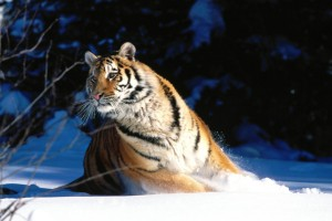 Download Wintery Scuddle Siberian Tiger Normal Wallpaper Free Wallpaper on dailyhdwallpaper.com