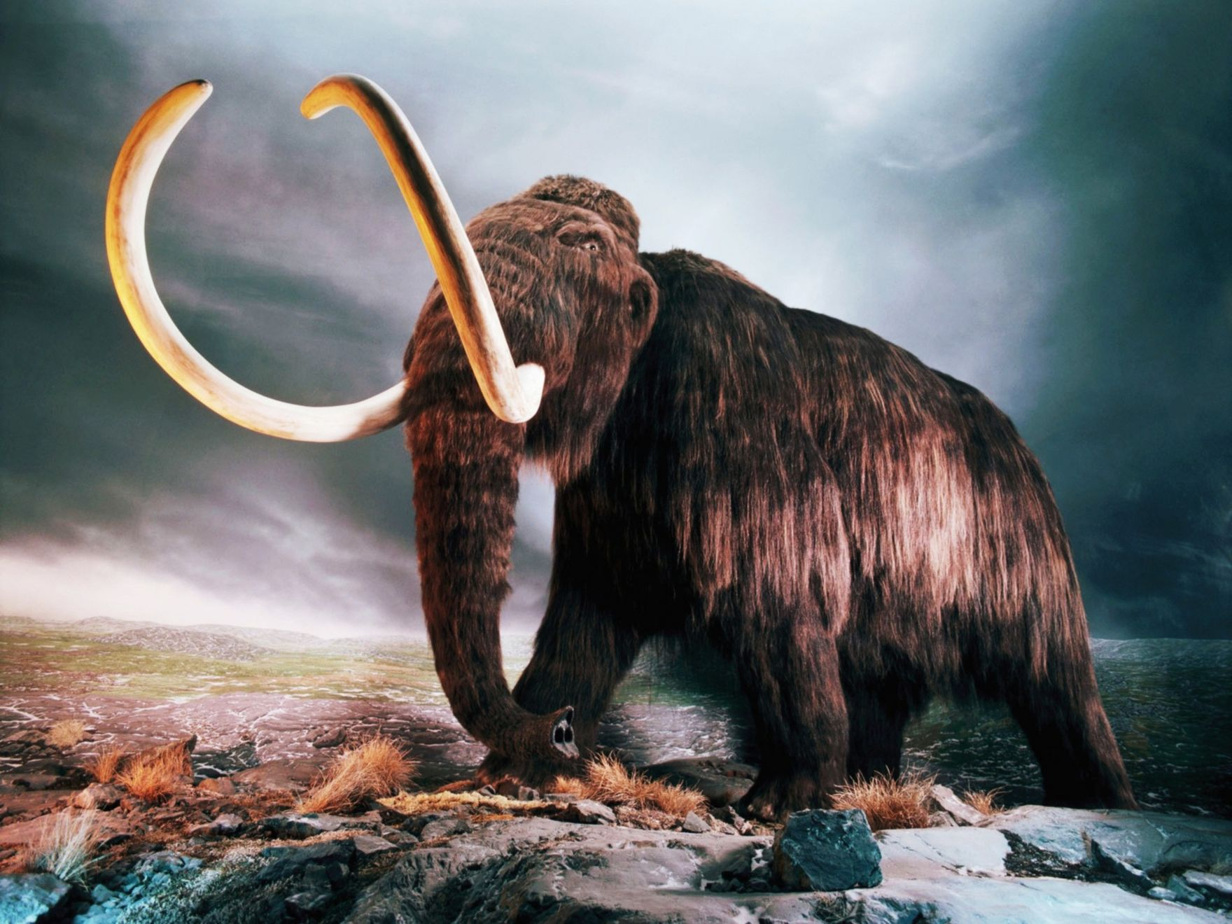 Download free HD Woolly Mammoth Normal Wallpaper, image