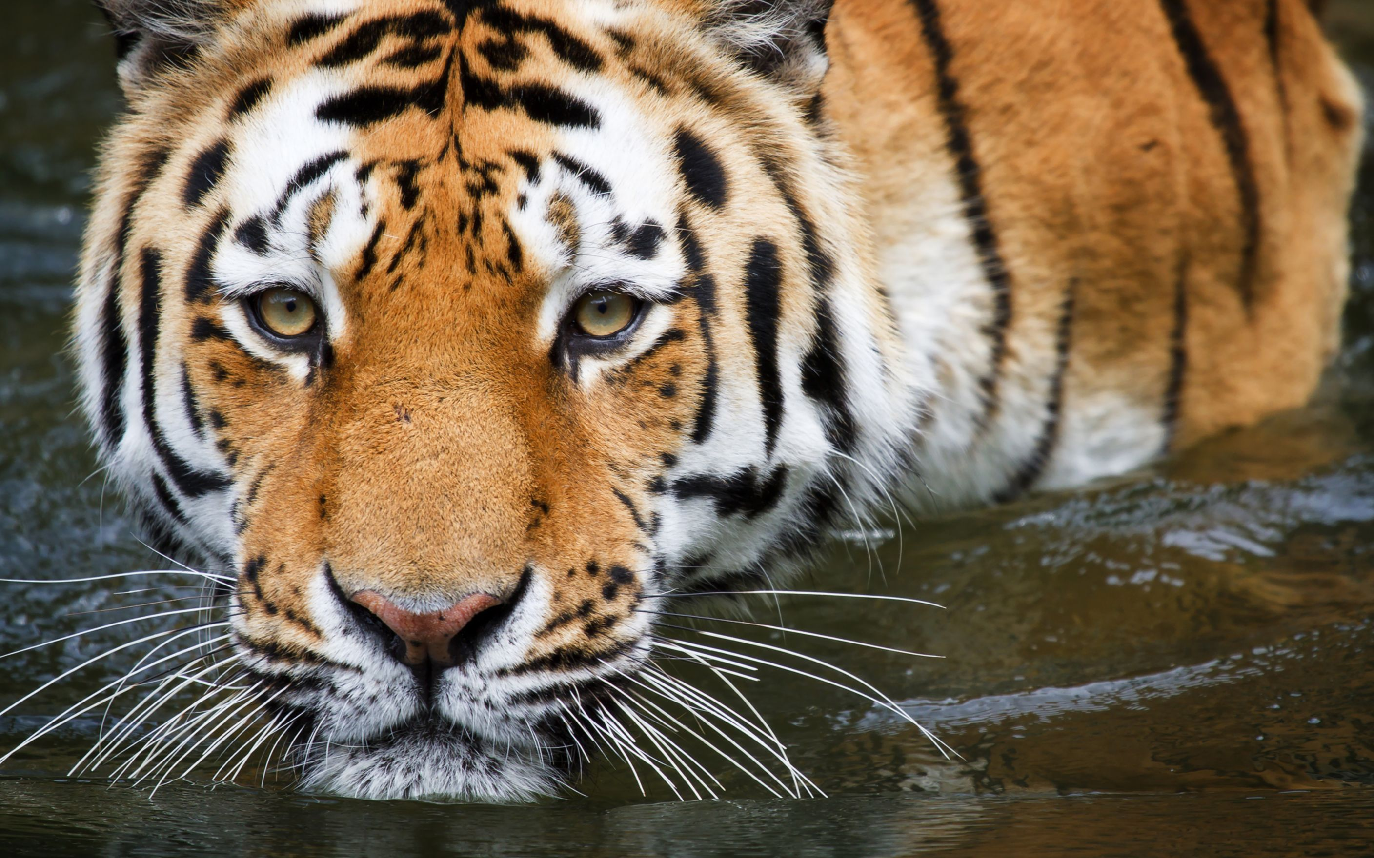 Download free HD Wuppertal Tiger Wide Wallpaper, image