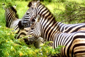 Download Zebras Normal Wallpaper Free Wallpaper on dailyhdwallpaper.com