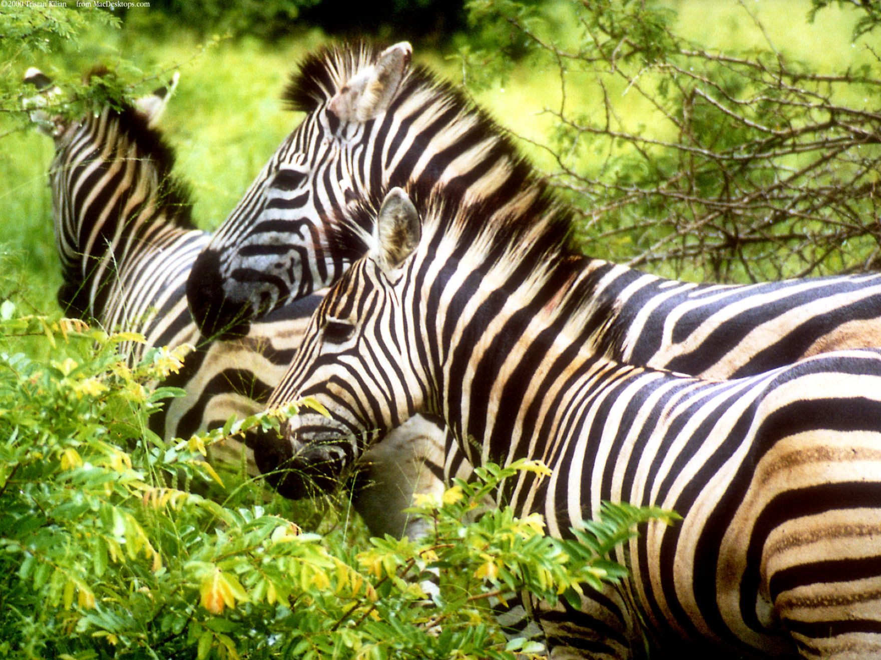 Download free HD Zebras Normal Wallpaper, image