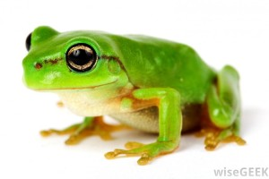 green-frog-wallpapers[1]